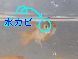 赤虎メダカ F4 ②(水カビ病)