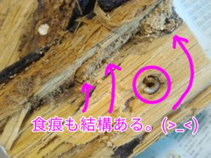 ダイソーのくち木の中の謎の幼虫