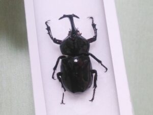 ダイソーの昆虫標本キットの工程 ⑦