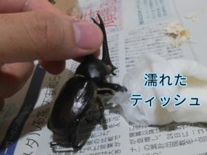 ダイソーの昆虫標本キットの工程 ①
