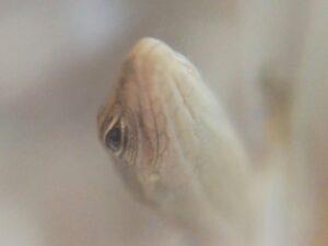 カナヘビの赤ちゃん ②
